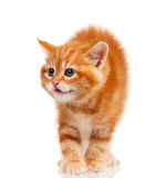 Red kitten. Cute little red kitten on white background stock images