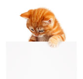 Red kitten. Cute little red kitten with empty board isolated on white background Royalty Free Stock Photo