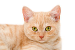 Red kitten Royalty Free Stock Photography