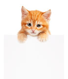 Red kitten. Cute little red kitten with empty board isolated on white background Stock Image