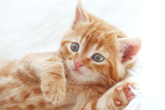Free Red Kitten Stock Photography - 41347952
