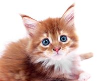 Free Red Kitten Stock Photography - 9470672