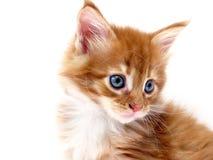 Red kitten Stock Images