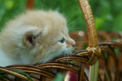 Red kitten in a basket Stock Images