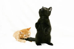 Red kitten is biting the tail of the black kitten. On a white background Stock Photo