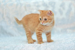 Red kitten on blue background Stock Image