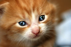 Red Kitten with blue eyes Royalty Free Stock Images