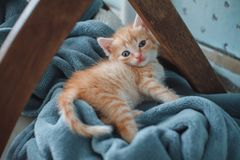 Red kitten with blue eyes on blue background. Looking slyly into the camera.  royalty free stock images