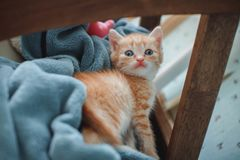 Red kitten with blue eyes on blue background. Looking slyly into the camera.  royalty free stock photography
