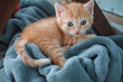 Red kitten with blue eyes on blue background. Looks anxiously into the camera.  royalty free stock image