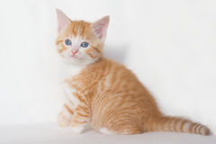 Red kitten with blue eyes. Beautiful red kitten with blue eyes on a white background Royalty Free Stock Photos
