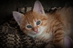 Red Kitten with blue eyes Stock Photography