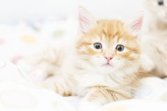 Red kitten into a coloured basket,siberian cat at two months Royalty Free Stock Photography