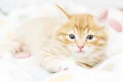 red kitten into a coloured basket,siberian cat at two months Royalty Free Stock Photo