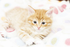 red kitten into a coloured basket,siberian cat at two months Stock Photos
