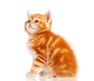 Red kitten. Cute little red kitten isolated on white background Stock Photo