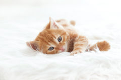 Red kitten Stock Photos