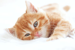 Red kitten Stock Image