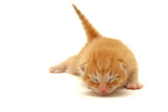 Red Kitten on the floor isolated on white Stock Image