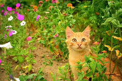 Red kitten in the flowerbed. Royalty Free Stock Image