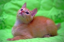 Red  kitten on a green Stock Photos