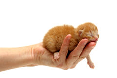 Red kitten in hand isolated on white background Stock Images