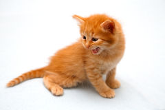 Red kitten harm growls. The small red kitten harm growls Stock Photos