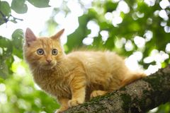 Red kitten hunting for birds on tree Royalty Free Stock Images