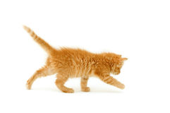 Red kitten isolated on white Royalty Free Stock Image