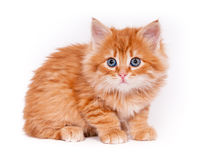 Red kitten isolated on a white background. Small cute Red kitten isolated on a white background Royalty Free Stock Photo