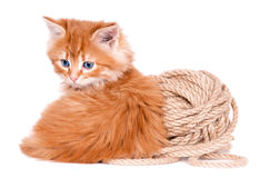 Red kitten isolated on a white background. Small cute Red kitten isolated on a white background Stock Photography