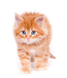 Red kitten isolated on a white background. Small cute Red kitten isolated on a white background Royalty Free Stock Images