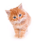 Red kitten isolated on a white background. Small cute Red kitten isolated on a white background Stock Images