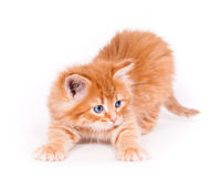 Red kitten isolated on a white background. Small cute Red kitten isolated on a white background Royalty Free Stock Photos