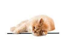 Red kitten lays on the glass and looking directly in front. Of the isolated Stock Photo