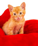 Red kitten lays on a pillow Stock Photography
