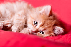 Red kitten lays on a red bedspread Stock Photos