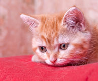 Red kitten lies and looks ahead Stock Image