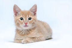 Red kitten looking at the camera Royalty Free Stock Photo