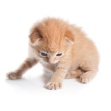 Red kitten looking down isolated on white Stock Images