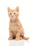 Red kitten looking straight forward at camera Royalty Free Stock Image