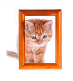 Red kitten looks out from a wooden frame Stock Photo