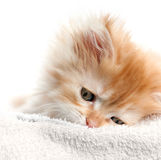 Red kitten nestled against Royalty Free Stock Photo