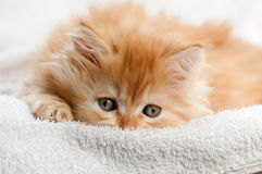 Red kitten nestled against a white towel Royalty Free Stock Image