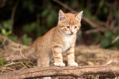 Red Kitten Outdoor Stock Photography