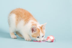 Red kitten with a pink toy mouse. Red kitten playing with a pink toy mouse on a blue background Royalty Free Stock Images