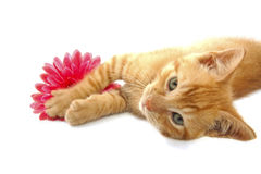 Red kitten Royalty Free Stock Photos