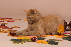 Red kitten playing with a sweet chestnut Stock Photography