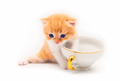 Red kitten plays with a white cup Stock Photos