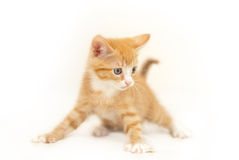 Red kitten ready for battle. On isolated white background stock photo